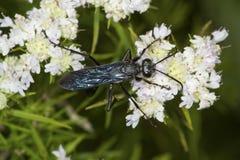 La gran avispa negra que forrajea para el néctar en la menta de montaña florece Imagenes de archivo