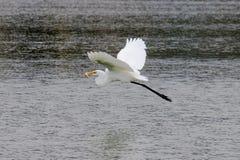 La gran garceta cogió pescados y el vuelo en la playa de Malibu en agosto Fotografía de archivo