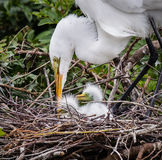 La gran mamá blanca de la garceta tiende a sus recién nacidos Foto de archivo