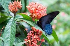 La gran mariposa mormona, memnon de Papilio, alimentando en las flores anaranjadas de Ixora cerca para arriba Fotografía de archivo libre de regalías