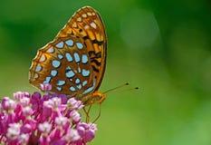 La gran mariposa Spangled del Fritillary alimenta en las plantas rosadas del Milkweed Imágenes de archivo libres de regalías