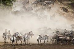 La gran migración, Kenia foto de archivo libre de regalías