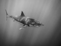 La gran natación del tiburón blanco debajo del sol irradia en el Océano Pacífico Foto de archivo