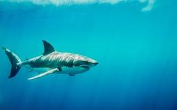 La gran natación del tiburón blanco en el océano azul debajo del sol irradia Imagenes de archivo