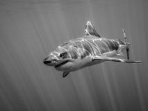 La gran natación del tiburón blanco en el Océano Pacífico debajo del sol irradia Fotos de archivo libres de regalías