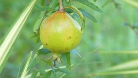 La granada da fruto en el árbol de la rama, primer almacen de video