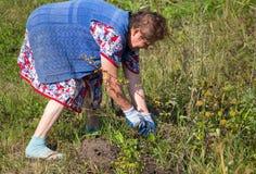 La grand-mère arrache l'herbe dans le jardin photos stock