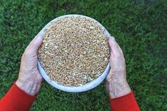 La grand-mère de soin remet tenir une cuvette de grain de blé Photos stock