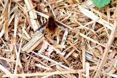La grande Abeille-mouche - Bombylius principal dans le pré rugueux photo stock