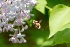 La grande abeille-mouche volant au lilas avec le vert a brouillé le fond photos stock