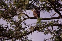 La grande aquila calva si siede nei rami di un albero attillato ed esplora il mare per la preda fotografia stock