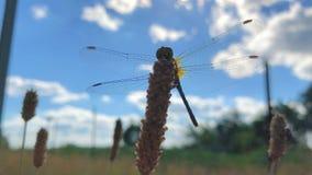 La grande belle libellule avec les ailes transparentes se repose sur la fleur Ladybird dans le vent clips vidéos