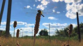 La grande belle libellule se repose sur une branche sur le fond de ciel banque de vidéos