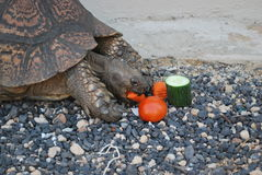La grande belle tortue mange des légumes Image stock