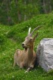 La grande capra siberiana fotografia stock