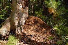 La grande collina della formica in un legno di conifere Fotografie Stock Libere da Diritti