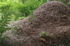 La grande colline de fourmi dans une forêt conifére Photographie stock libre de droits