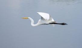 La grande egretta in volo Fotografie Stock Libere da Diritti
