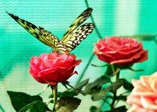 La grande farfalla della crisalide dell'albero (leuconoe di idea) su è aumentato Immagine Stock Libera da Diritti