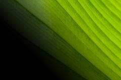 La grande feuille verte à la nature fraîche est beau fond Images stock
