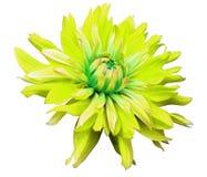 La grande fleur jaune s'ouvre sur un fond blanc d'isolement avec le chemin de coupure closeup vue de côté pour la conception Avec illustration stock