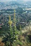 La grande gentiane jaune se développe sur une colline Zobor au-dessus de la ville de Nitra Photos libres de droits
