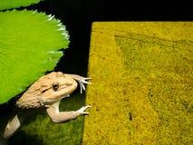 La grande grenouille est dans l'eau et accroche la roche verte Rempli de la mousse Photographie stock