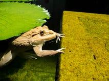 La grande grenouille est dans l'eau et accroche la roche verte Rempli de la mousse Images stock