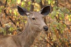 La grande image d'un cerf commun dans les buissons de la jungle Images stock