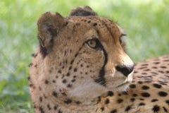 La grande image d'un museau d'un mensonge de guépard Image libre de droits