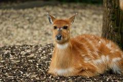 La grande image d'une antilope jaune lumineuse Photos libres de droits