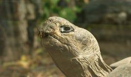 La grande image d'une grande tortue principale Photographie stock