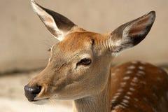 La grande image d'une tête d'un petit cerf commun brun Images stock