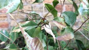 La grande libellula si siede su un ramo stock footage