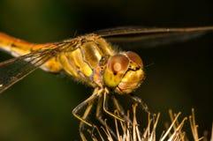 La grande libellula si siede su una bardana Immagine Stock