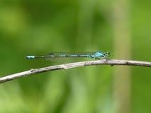 Libellule bleue sur une herbe Photographie stock libre de droits