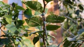 La grande libellule se repose sur la branche d'arbre avec le feuillage vert banque de vidéos
