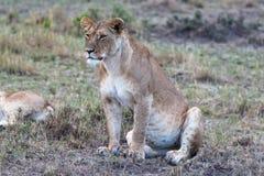 La grande lionne observe la savane Point de Оbservation dans le masai Mara Le Kenya, Afrique Images stock
