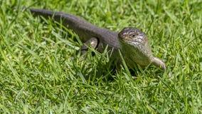 La grande lucertola australiana solleva la sua testa dall'erba e guarda minacciosamente, Australia occidentale fotografia stock