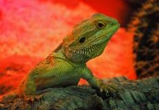 La grande lucertola verde sta scalando da inferno rosso Immagini Stock