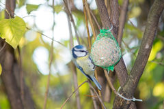 La grande mésange, mésange bleue mange la grosse boule à la mangeoire dans les branches des arbres Photo stock