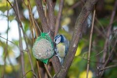 La grande mésange, mésange bleue mange la grosse boule à la mangeoire dans les branches des arbres photographie stock