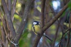 La grande mésange, mésange bleue mange la grosse boule à la mangeoire dans les branches des arbres image libre de droits