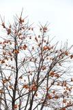 La grande majorité des branches élevant le kaki orange Images stock