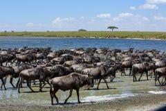 La grande migrazione nel Serengeti immagini stock