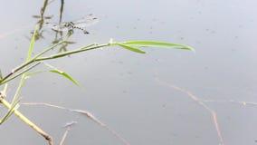 La grande mosca della libellula viene pertica su erba verde stock footage