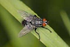 La grande mouche commune, se repose confortablement sur la lame de l'herbe, la vue f photographie stock