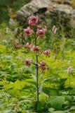 La grande orchidée sauvage Image libre de droits
