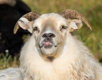 La grande pecora bianca sveglia della ram mette fuori la sua lingua e prende in giro l'islanda immagine stock libera da diritti