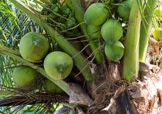 La grande piccola alta palma crescente della noce di cocco verde su un fondo delle foglie, frutta tropicale matura Fotografia Stock Libera da Diritti